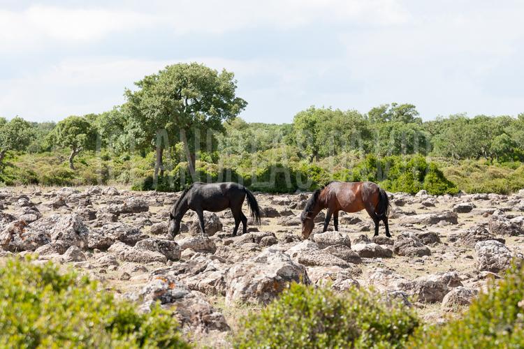 Die wildpferde von giara di gesturi haben sardinien über die grenzen